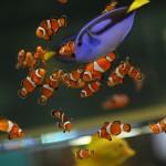 Clown FishB